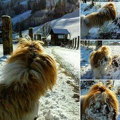 ANGELINO - Lhasa Apso Colin Maxwell  www.colinmaxwell.net  #cute #dog #dogsofinstagram  #picoftheday  #pic #animal  #photooftheday  #photography  #snow #salzburgerland  #salzburg #austria  #gastein  #funny  #fun