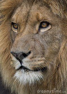 Lion portrait (© Berc   Dreamstime.com)