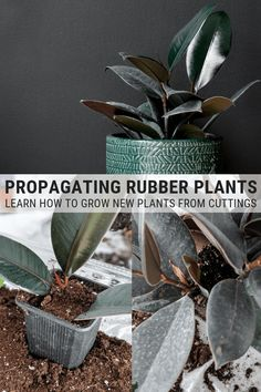 Learn how to propagate a rubber plant. Rubber plant propagation from cuttings is easy and just takes a bit of patience. Learn how to do it now! Water Plants, Rubber Tree Plant, Rubber Tree, Plant Care, House Plant Care, Trees To Plant, Rubber Plant Care, Propagating Plants, Peperomia Plant