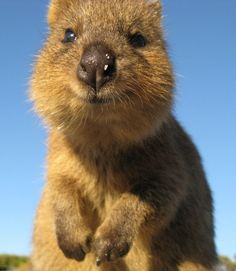 This is a quokka, a cuddly, cat-sized marsupial from Australia.  And basically the happiest animal ever to exist on this planet.