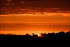 Hinde in ondergaande zon - Rehwild bei Sonnenuntergang - Roe deer at sunset by Erwin Maassen van den Brink