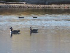 More Canada geese on the pond, Casper Wyoming.