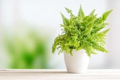 21 Beautiful North Facing Window Plants (With Pictures) - Smart Garden Guide Easy Care Indoor Plants, Chinese Money Plant, Boston Ferns, Window Plants, Cheese Plant, Decorative Leaves, Iron Plant, Low Light Plants, Smart Garden
