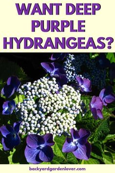you ever been green with envy seeing your neighbor's deep purple hydrangea flowers? Don't worry: here's a quick and easy way to get your own deep purple hydrangeas (or pink, or blue, if one of those is your absolute favorite! Hydrangea Colors, Hydrangea Care, Hydrangea Flower, Purple Flowers, Purple Hydrangeas, How To Grow Hydrangeas, Hydrangea Color Change, Wild Flowers, Lotus Flowers