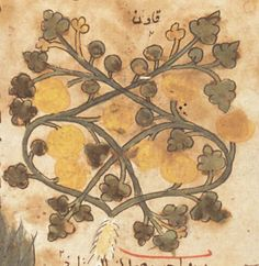 Medieval emergence of sweet melons, Cucumis melo (Cucurbitaceae)