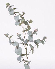 Eucalyptus is always in my home. Image Nature, All Nature, Motif Floral, Arte Floral, Botanical Art, Botanical Illustration, Green Plants, Artificial Plants, Indoor Plants