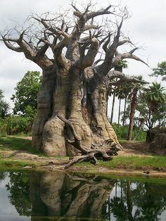 Strange (but beautiful) looking tree! Giant Tree, Big Tree, Weird Trees, Baobab Tree, Magical Tree, Tree Carving, Unique Trees, Old Trees, Nature Tree