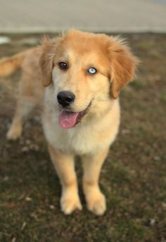 Mixed Breed Spotlight: Golden Retriever Husky Mix - The Featured Creature Golden Retriever Mix, Retriever Puppy, Golden Retrievers, English Cocker Spaniel, Dog Rates, Alaskan Klee Kai, Scottish Fold, Beautiful Dogs, Lovely Eyes