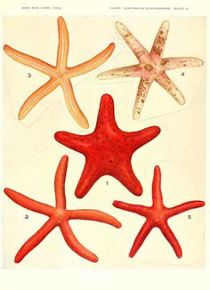 Echinoderms from Australia. Cambridge, U.S.A. Printed for the Museum,1938