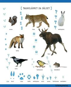 Winter animals from Finland Early Education, Early Childhood Education, Science Education, Finnish Language, Teaching Aids, Montessori Materials, Animal Sketches, Forest Animals, Science And Nature