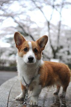 Cute Corgi Puppy, Corgi Dog, Pembroke Welsh Corgi, Reasons To Smile, Mans Best Friend, Animals And Pets, Dog Lovers, Puppies, Corgis