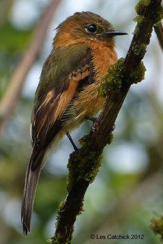 Cinnamon Flycatcher. Argentina/ Bolivia/ Colombia/ Ecuador/ Peru/ Venezuela
