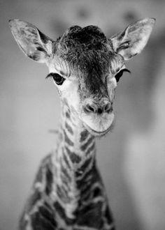 Baby giraffe. by debra