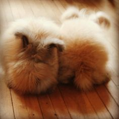 English angora bunnies - two little does