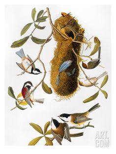 Audubon: Titmouse Art Print by John James Audubon at Art.com