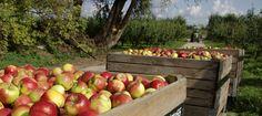 Bezoek de boomgaard! Bijv. voor de appelpluk zoals op de Olmenhorst.