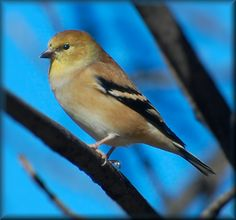 Young American Goldfinch.