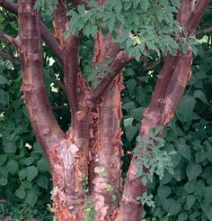 Paperbark Maple - 15'-30' slow-growing understory tree, highly ornamental, peeling orange-cinnamon bark, leaves turn brilliant orange-red in autumn, small yellow flowers in spring, stately habit.