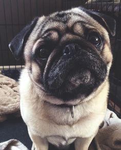 Pug #pug