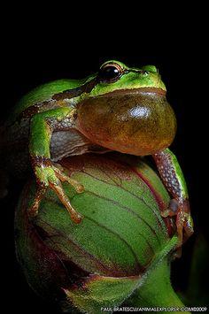 Northwest Pacific Tree Frog (Hyla regilla) | Flickr - Photo Sharing!
