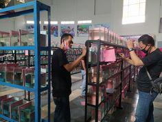 1000 Ikan Cupang Mengikuti Kontes di Bogor  #BogorChannel