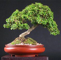 kingsville boxwood bonsai1 Japanese Kingsville Boxwood Bonsai Tree