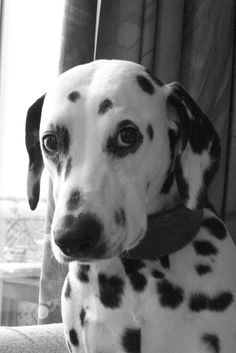 It wasn't me....really Dalmatian Puppy