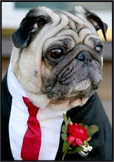 Don't forget about your best friend! Cute ways to include your pet in your wedding!--Jack Jack will be in the prime of his life and he'll be just as handsome as the other men :) #pug