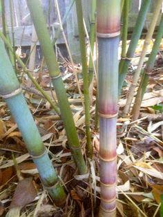 Teague Blue Bamboo At Mad Man Nursery In Rocklin Ca See