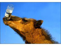 Ein Kamel beim Trinken
