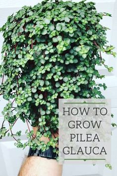 Pilea Glauca - Vital Care Tips and Where to Purchase - Modern Design House Plants Decor, Garden Plants, Best Air Purifying Plants, Snake Plant Care, Decoration Plante, Best Indoor Plants, Garden Care, Houseplants, Gardens