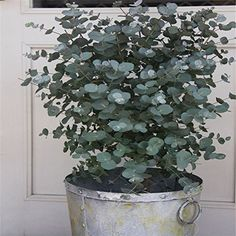 For the terrace - garden plants- Eukalyptus. For the terrace – garden plants, -