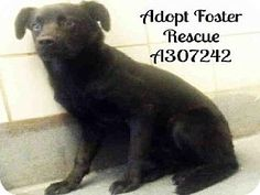 San Antonio, TX - Labrador Retriever Mix. Meet A307242, a dog for adoption. http://www.adoptapet.com/pet/11548529-san-antonio-texas-labrador-retriever-mix