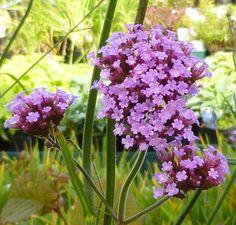Buy Verbena bonariensis online from Jacksons Nurseries