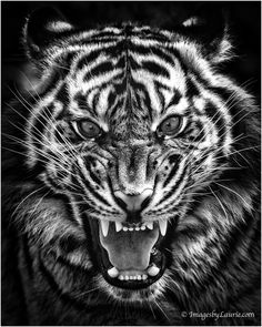 anger creature whisker striped powerful whiskers endangered looking tiger stripes big cat animal tigers fierce animals stripe stare teeth eyes gaze mammals majestic pattern aggression photography angry look face closeup eye Tatoo Tiger, Tiger Tattoo Design, Tigergesicht Tattoo, Angry Tiger, Tiger Roaring, Lion Head Tattoos, Tiger Pictures, Tattoo Zeichnungen, Neue Tattoos