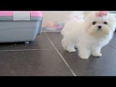 Teacup Maltese Puppy >> I am sooo in love Aussie Puppies, White Puppies, Dogs And Puppies, Small Puppies, Teacup Maltese For Sale, Cute Teacup Puppies, Pekinese, Cute Dog Pictures, Puppy Play