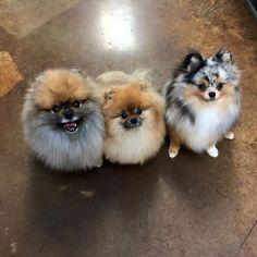 Wookie, Luni and Sprout the Pomeranians