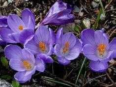 Spring-flowering Crocus - Flickr - Photo Sharing!
