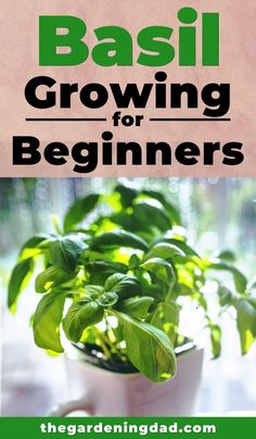 10 EASY Tips to Grow Basil Learn How to Easily Grow Basil indoors and in your garden with these beginner tips tricks and ideas There is something for everyone in this beg. Home Vegetable Garden, Herbs Garden, Garden Pests, Fruit Garden, Easy Herbs To Grow, Growing Herbs Indoors, Growing Plants, Basil Plant, Organic Gardening Tips