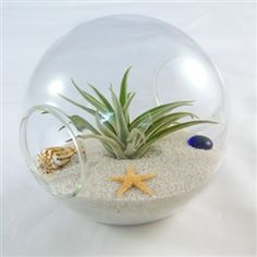Get a Beautiful #Tillandsia_Centerpiece.Opening this delivery will brighten your whole day.Find it here http://www.airplantshop.com/Air_Plant_Terrarium_with_White_Sand_Seashells_p/5.5inchorb-beach.htm