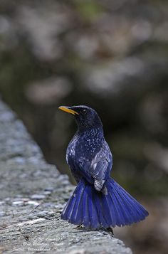 Blue Whistling Thrush  Held in the family Turdinae  Status in Thailand Birds resident and migratory birds  General characteristics lengt...