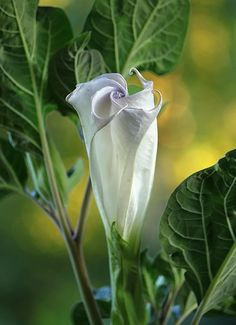 Moon Flower purple datura plant (Ghost Egg)