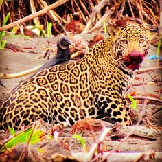 Spotted at our hub in Jalova! A beautiful jaguar! Personal And Professional Development, Volunteer Abroad, Wildlife Conservation, Kenya, Jaguar, United Kingdom, Thailand, Africa, Animals