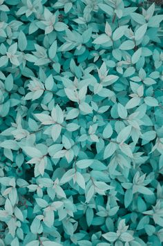 Tiffany Blue Leaves