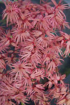 Acer.palmatum.Pinkie.4.jpg (683×1024)