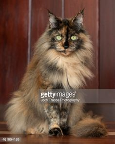 maine coon cat - Google Search