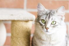 silver cat , female on @dreamstime #cat #kitten #pet #animal #cute #gatos #little #feline #puppy #siberian #meow #cuddling