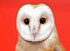 Face of the day: the London Zoo Annual Stocktake Barn Owl - anorak.co.uk