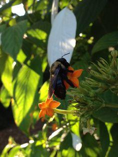 Bee on Dhobi Tree in the Haupt Garden | by Flickr member Sara Eguren