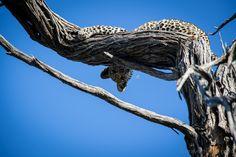 Moremi Wildreservat - auf Leoparden-Safari im Okavango Delta Safari, Okavango Delta, Game Reserve, Camouflage, Africa, Nature, Pictures, Animals, Animales